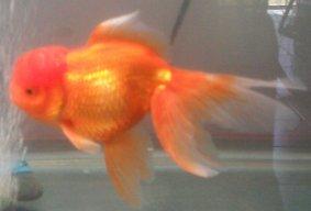 Jackie's Goldfish